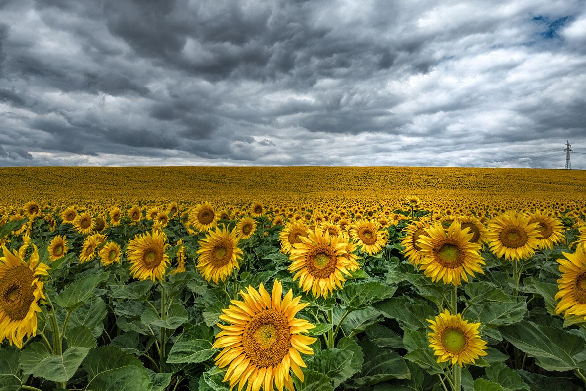 27 Punkte-Sunflowers_Gagl Josef