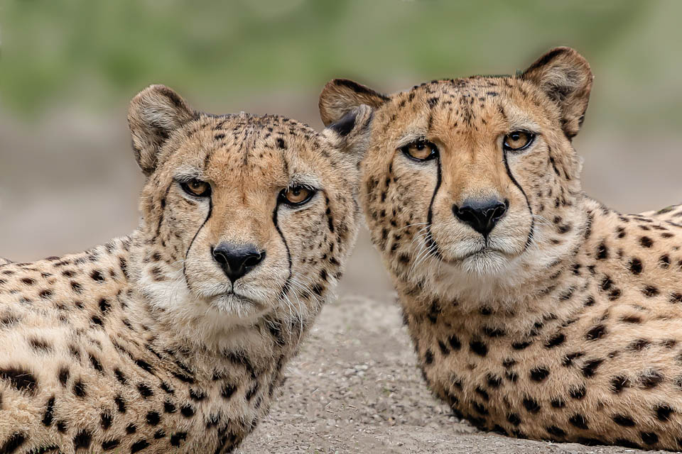 80_A_Hipmair Peter_Leoparden Paar