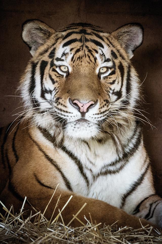 Pucher Christian_Tiger